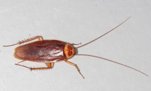 American Cockroach, from Wikipedia. https://upload.wikimedia.org/wikipedia/commons/3/3b/American-cockroach.jpg