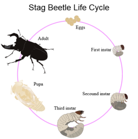 Life_cycle_of_stag_beetle